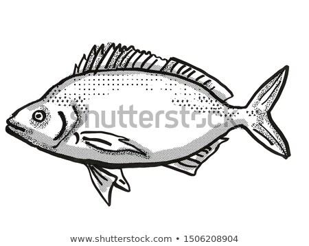 Jackass Morwong Australian Fish Cartoon Retro Drawing Stock photo © patrimonio