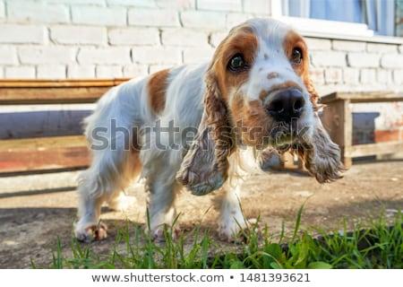 Wide angle portrait of an adorable English Cocker Spaniel Stock photo © vauvau
