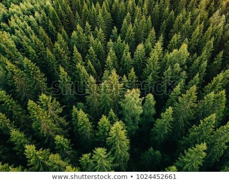 Stok fotoğraf: çam · ağaçlar · bahar · orman · grup · yeşil