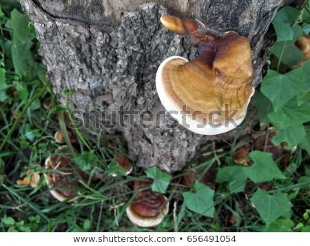 黄色 · 菌 · ツリー · 美しい · シェルフ · 樹皮 - ストックフォト © zhekos