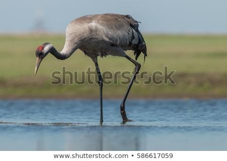 Common Crane Stock photo © digoarpi