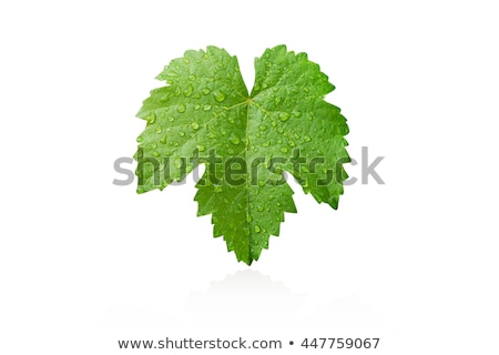 grape leaf with water drops Stock photo © shutswis