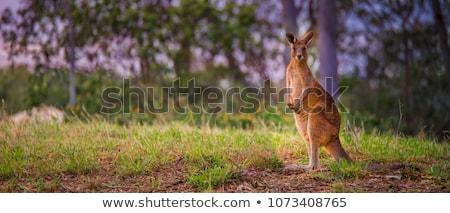 Ausztrál kenguru western szürke nyitva természet Stock fotó © kitch