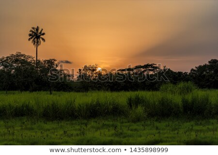 a west african sunset with palm tree silhouette stock photo © davemontreuil