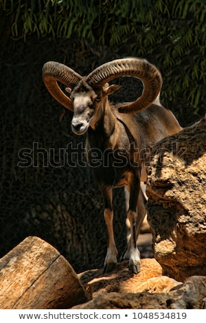 Cyprus Mouflon portrait Stock photo © Kirill_M