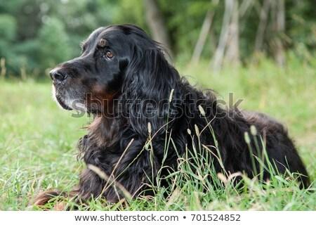 pointer dog lying in field stock photo © iofoto