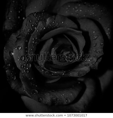 Rosa chuva gotas belo flor amor Foto stock © chris2766