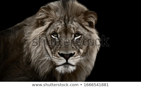 Stock photo: Angry Lion at black background