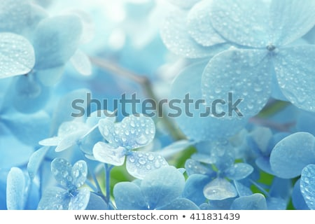 young hydrangea flower with dew stock photo © mady70