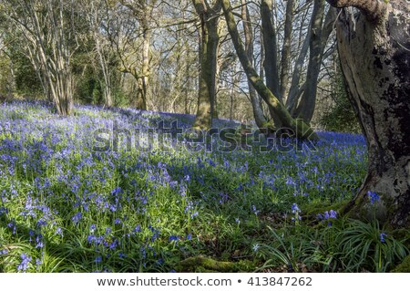 Blauw bel hout voorjaar sussex Engeland Stockfoto © fenton