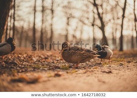 pato · retrato · água · cara · fundo - foto stock © avheertum