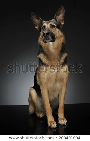 Stock photo: German shepherd sitting in the reflexing shiny studio floor