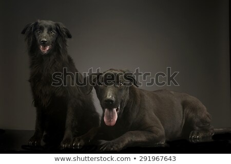 mixed breed black dogs relaxing in a dark photo studio stock photo © vauvau