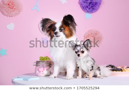 two cute papillons sitting in white photo studio Stock photo © vauvau