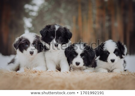 Border collie puppy roze cute baby hond Stockfoto © ivonnewierink