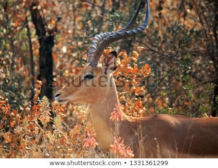 oldal · profil · park · természet · Afrika · fej - stock fotó © simoneeman