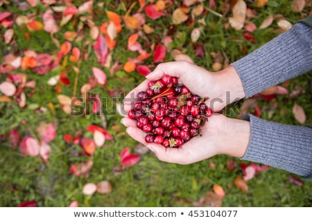 Damp cranberry Stock photo © IMaster