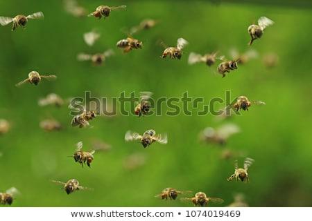 Méhek repülés kert illusztráció virág művészet Stock fotó © bluering