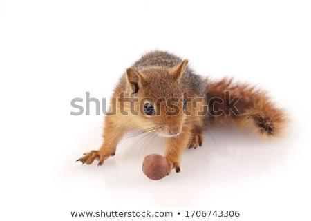 Cute chipmunk on white background Stock photo © bluering