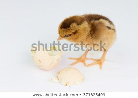 Csirke ki tojás illusztráció háttér toll Stock fotó © colematt