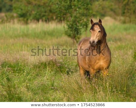 cavalo · Noruega · norueguês · retrato · inverno · sorrir - foto stock © is2