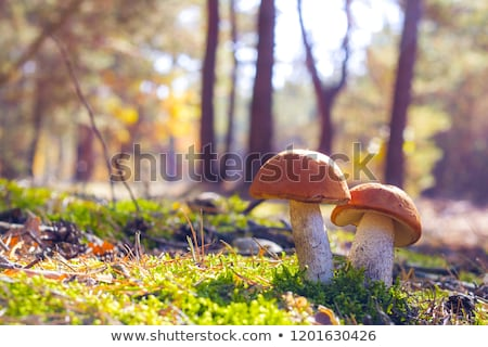 Stock photo: two cep mushrooms in wood