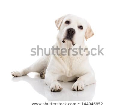 adult golden labrador stock photo © acidgrey