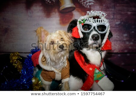 Two adorable Yorkshire Terrier wearing red, funny hats Stock photo © vauvau