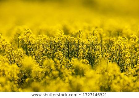 Canola Crop Stock photo © skylight