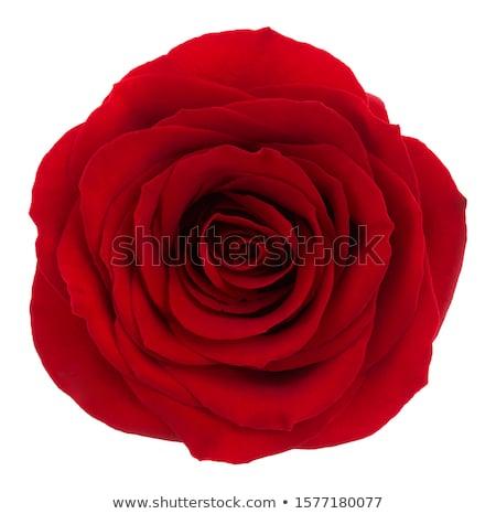 One red rose Stock photo © boroda