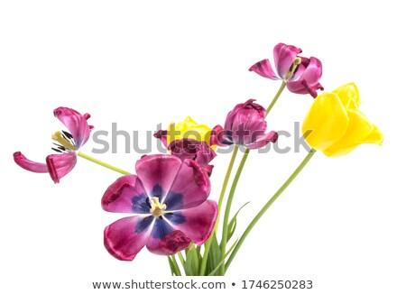 Limp tulip Stock photo © stevemc