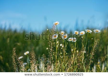 Lata żółty kwiat ogród makro shot płytki Zdjęcia stock © pashabo