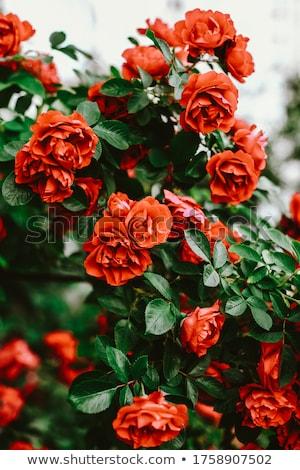 Red wild rose flowers Stock photo © vlad_star