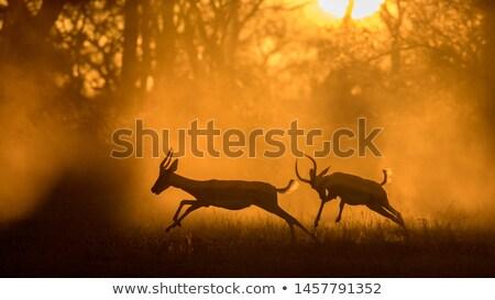Vadvilág Afrika sziluett égbolt naplemente természet Stock fotó © dagadu