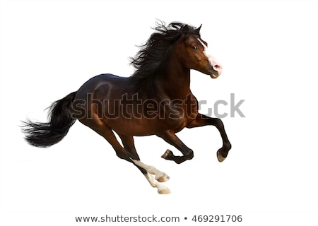 Russian trotter isolate stock photo © SKVORTSOVA