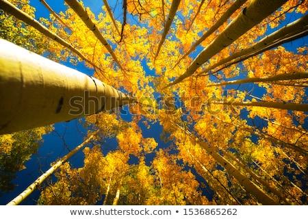 Fall Aspen Trees Stock photo © szefei