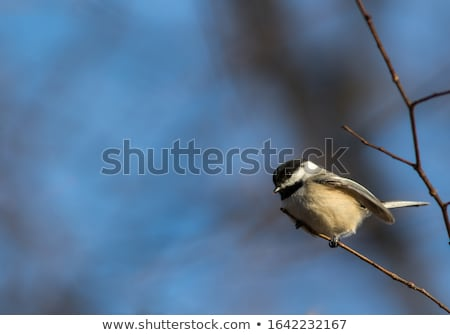 Black-capped chickadee (Poecile atricapillus) in a winter scene stock photo © bigjohn36