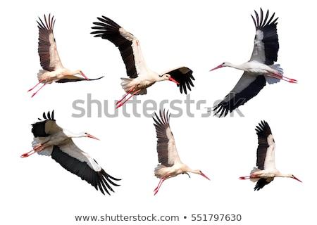 flying stork Stock photo © klagyivik