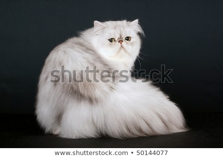 Silver Shaded Persian Stock photo © creisinger