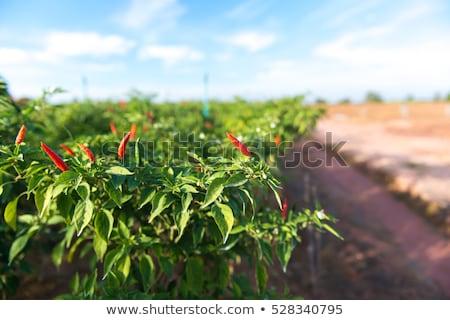 чили фермы перец продовольствие зеленый сельского хозяйства Сток-фото © photosoup
