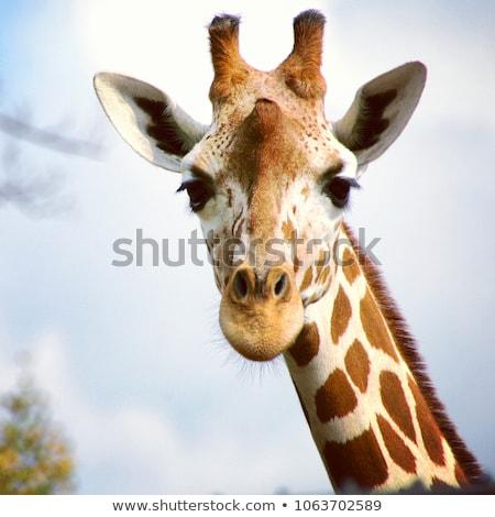 retrato · girafa · isolado · branco · textura · fundo - foto stock © sqback