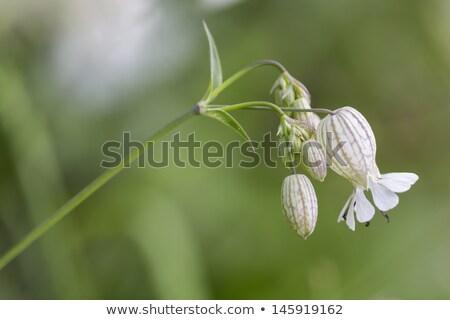 Bladder campion (Silene vulgaris) closeup, shallow DOF Stock photo © haraldmuc