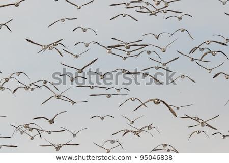 Swarm Brent gooses in the sky Stock photo © ivonnewierink