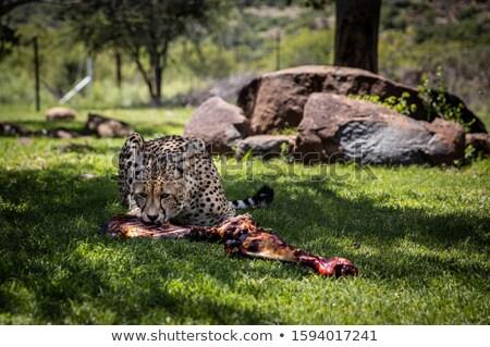Cheetah Eating a Carcass Stock photo © bradleyvdw