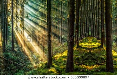 午前 霧 森林 サンビーム 自然 風景 ストックフォト © meinzahn