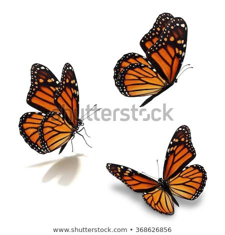 три бабочки изолированный белый крыло оранжевый Сток-фото © ambientideas