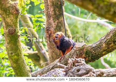 singe · tête · ailes · illustration · canine · design - photo stock © fmuqodas