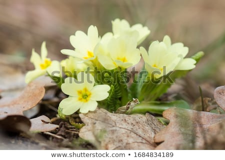 flor · amarela · prímula · macro · isolado · branco · casa - foto stock © taviphoto