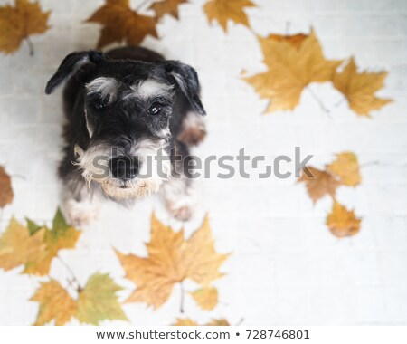 black and white miniature schnauzer stock photo © stephaniefrey