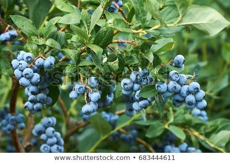 blueberry plant stock photo © lianem